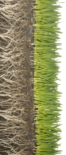 A image showing the root system of a healthy lawn.